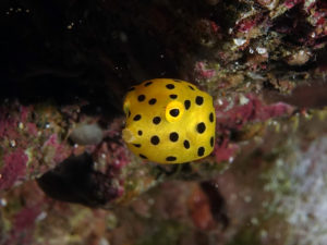 little boxfish