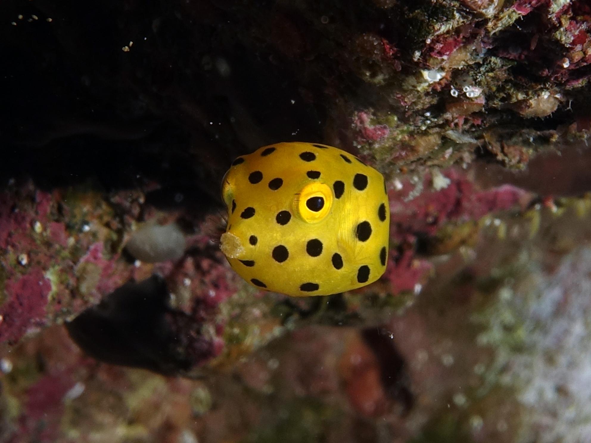 little boxfish