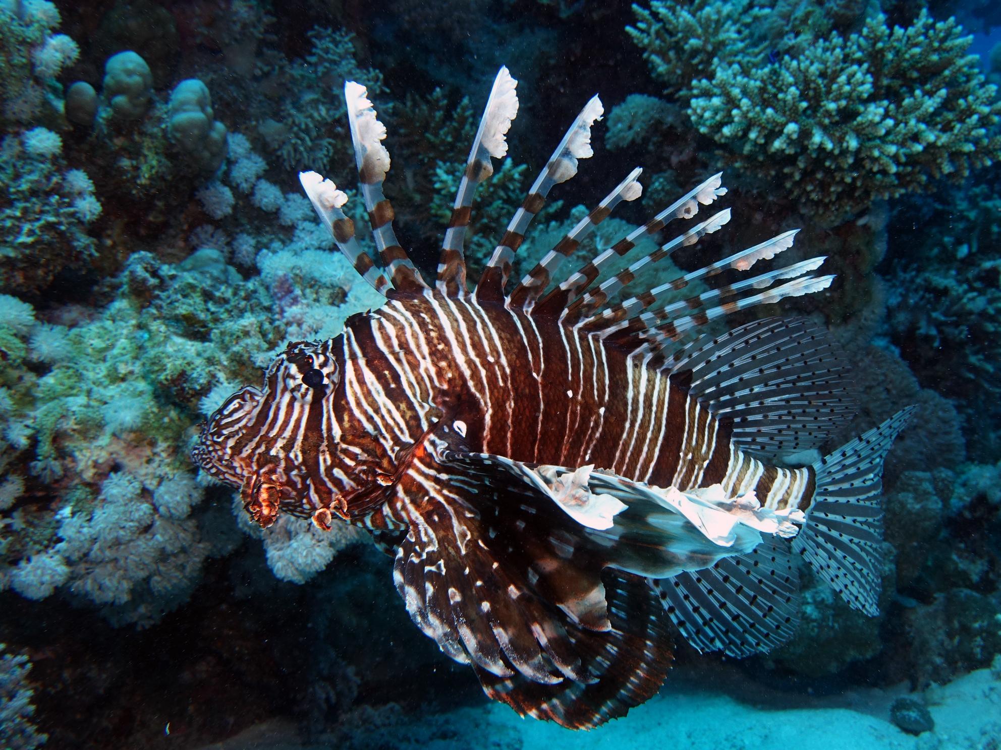 Rotfeuerfisch Riff