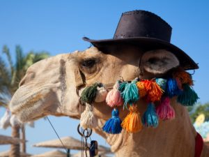 camel with hat