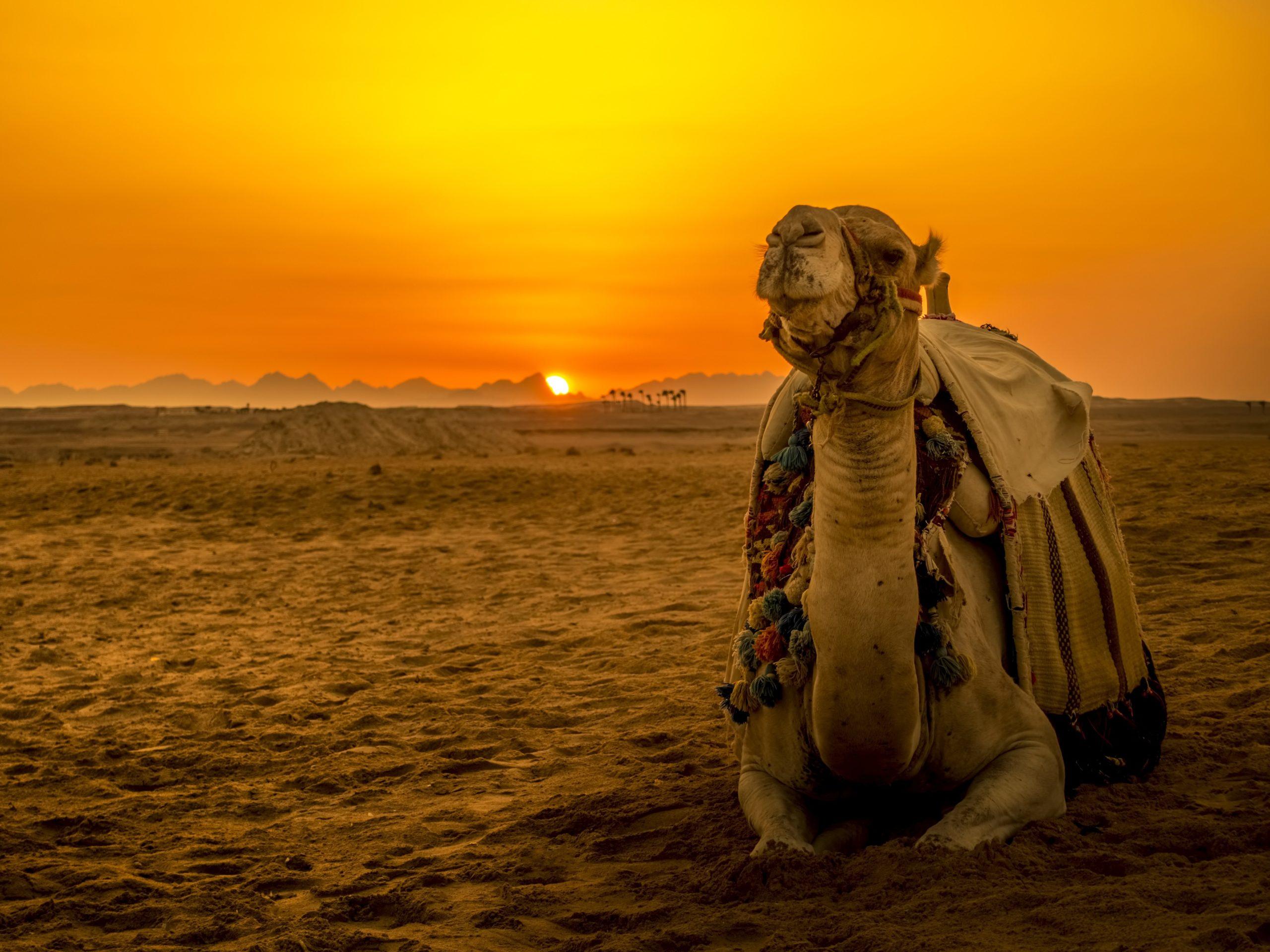 camel-dessert