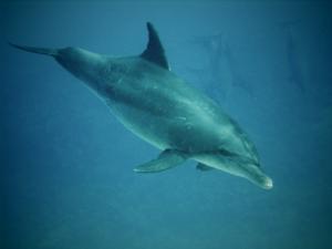 Delfin Ham Ham
