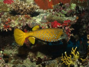 Kofferfisch Riff