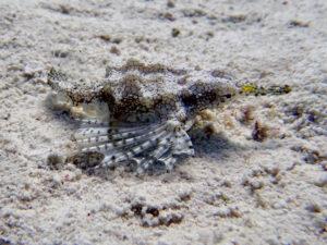 Flügelrossfische