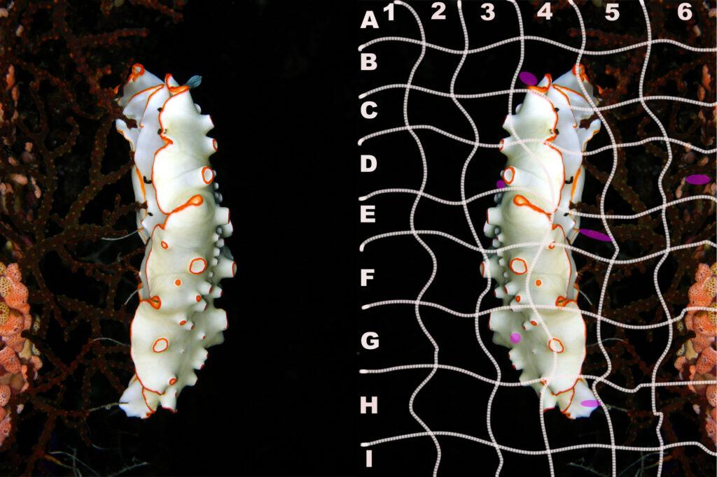 Dermatobranchus-ornatus-Schmuck-Furchenschnecke